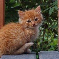 Котенок которого нужно пристроить :: Алексей Корнеев
