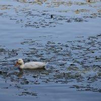 Глядь - поверх текучих вод утка белая плывет.... :: Tatiana Markova