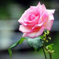 Роза :: Alexander Andronik
