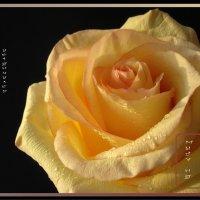 И розы жёлтой аромат глубокой осенью незримо истончился.. :: Наталия Григорьева