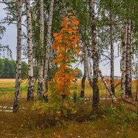 Клён покрасневший :: Александр Тулупов