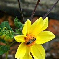 пчела :: Елизавета Белянина
