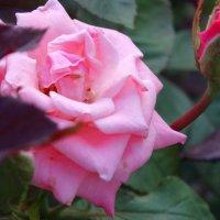 Розовая с бутоном... :: Тамара (st.tamara)