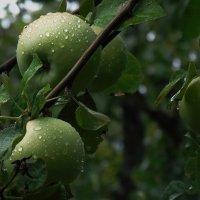 Яблоки после дождя :: Алла