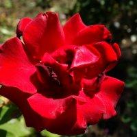 Роза красная в конце августа... :: Тамара (st.tamara)
