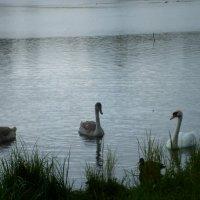 лебедь белая :: ЕЛЕНА КОЛЕСНИК