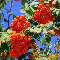 Я из ягод их сделаю бусы, чтоб костром на груди полыхали. :: Валентина ツ ღ✿ღ