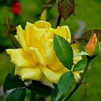 Желтая роза :: Милешкин Владимир Алексеевич