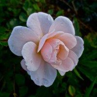слёзы розы :: Елена