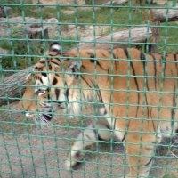 Грация тигра. :: Валентина .
