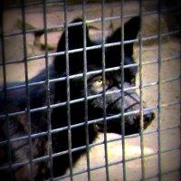 Чёрный волк . :: Мила Бовкун