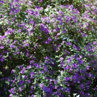 Картофельное дерево в цвету :: Natalia Harries