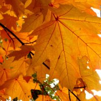 Кленовые листья :: Елена Семигина