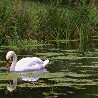 Лебедь :: Анна Браун