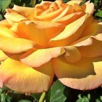 Прелесть жёлтой розы :: Нина Корешкова