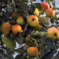 Осень в плодах :: Юрий