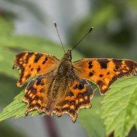 осенняя бабочка :: Лариса Батурова