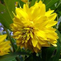 Цветок осени-Золотой шар. :: Елизавета Успенская