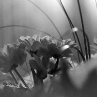 Хризантемы :: Надежда
