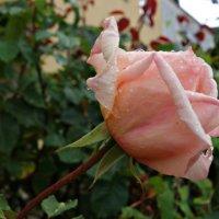 Осы'пались листья берёзы В траву золотым конфетти, А дерзкие нежные розы Ещё продолжают цвести… :: Galina Dzubina