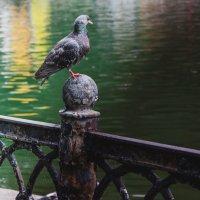 голубь :: Игорь Щербаков