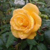 Роза после дождя :: Serg