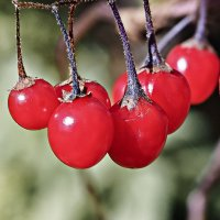 Плоды паслёна :: Татьяна Губина