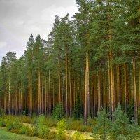 леса под Выборгом :: Рома Григорьев
