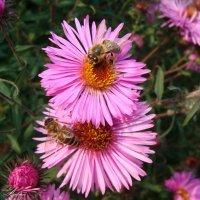 Пчелки труженицы :: °•●Елена●•° Аникина♀