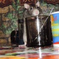 Любимая крысулька :: Катя Устюжанина
