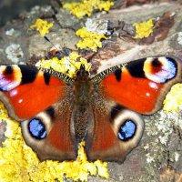 бабочка :: Tiana Ros