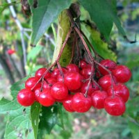 Калина красная , рубином светится ! :: Мила Бовкун