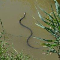 змея, уж :: Лейла А