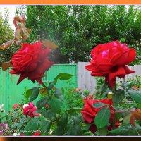 розы :: Юрий Владимирович