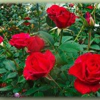 Розы после дождя..... :: Юрий Владимирович