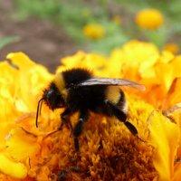 Над цветком пчела жужжит и нектар собрать спешит.... :: Galina Leskova