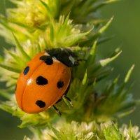 Божья коровка  2 (лат. Coccinellidae) — семейство жуков. :: Анна Слободенюк