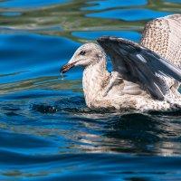 Просто чайка. :: Юрий Харченко