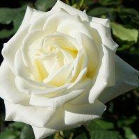 «Осенние розы – прелестные, грустные розы …» :: Елена Павлова (Смолова)