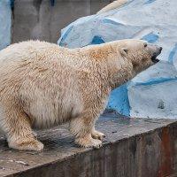 Белая медведица :: Владимир Габов