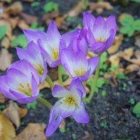 Одно из чудес осеннего сада - цветы колхикум (безвременник, осенник). :: Елена Павлова (Смолова)