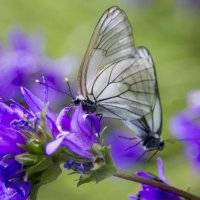 Бабочки :: Надежда Прохорова