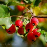 райские яблочки :: Ярослава Бакуняева