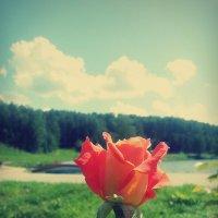 Rose :: Lady Etoile