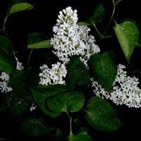 Белая сирень чёрной ночью :: Надежда Гусева