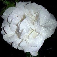 Слёзы розы :: Надежда Гусева