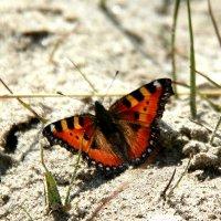 Бабочка на песке :: Светлана Попова