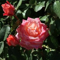 Сентябрьская роза... :: Владимир Бровко