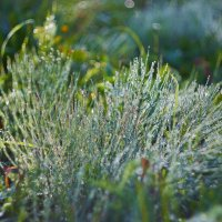 Рано утром на листочках, На травинках, на цветочках Чудо капельки висят, Словно зеркальца блестят. :: Седа Ковтун