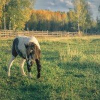 Маленькая лошадка :: Игорь Чистяков